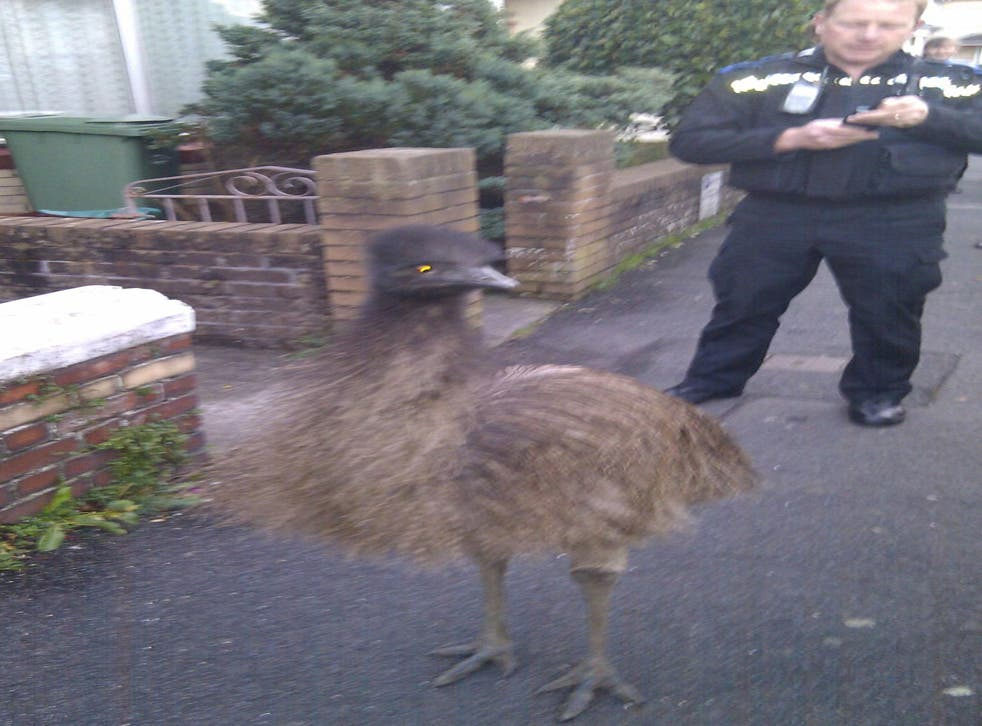 PCSO Steve Huxtable is seen coaxing an emu into a police car after it escaped and was seen walking around Barnstaple in North Devon