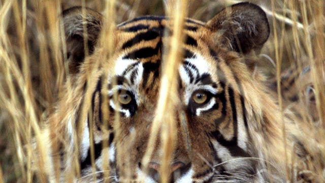 Tiger tourism in India has become popular again