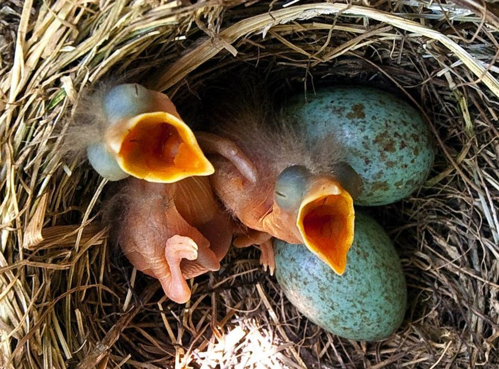 What it's like to be a bird: One day old chicks of a song thrush