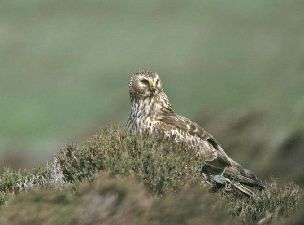Only one breeding pair of hen harriers remains in England