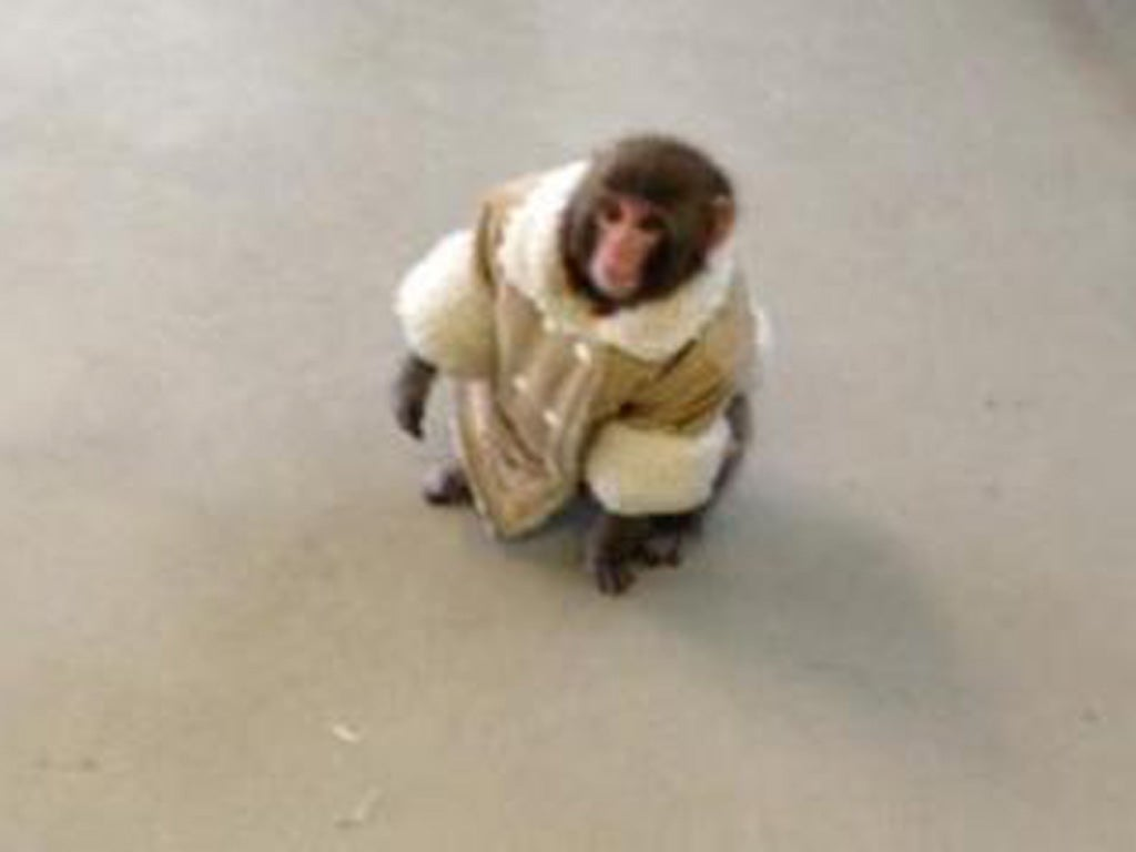 Monkey in sheepskin coat photographed roaming Toronto Ikea store