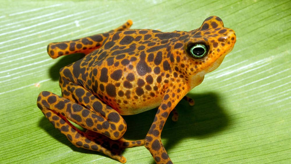 scientists try to save frogs from extinction the independent