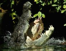 Hombre sobrevive a brutal ataque de un cocodrilo en Australia
