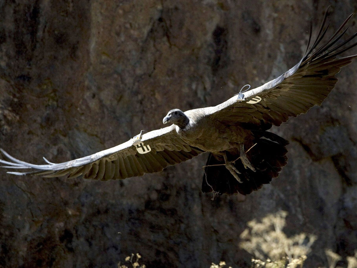 Are We Seeing The Last Flight Of The Condor The Independent The Independent