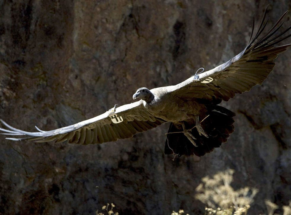 Big trouble: A tagged condor in Chile. Peru is belatedly trying to help the birds