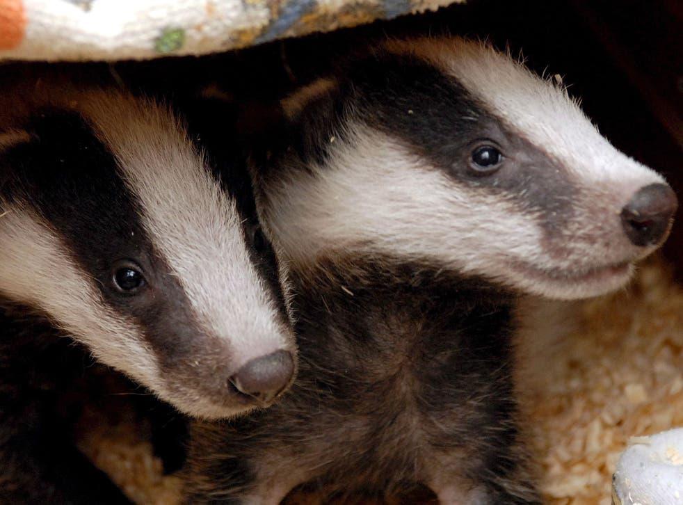 Badgers' habitats may also be in danger