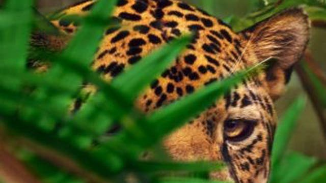 A jaguar hides in some foilage in Belize