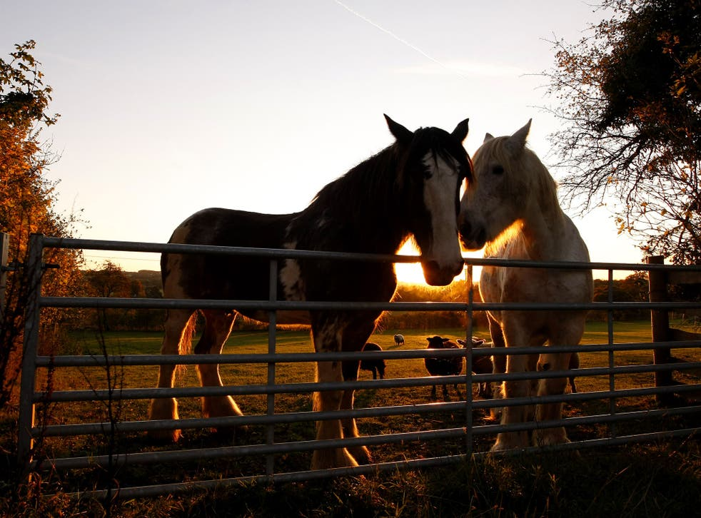 Horses stand in a field next to sheep as the sun sets in the Cotswolds on October 28, 2011 in Whittington, England.