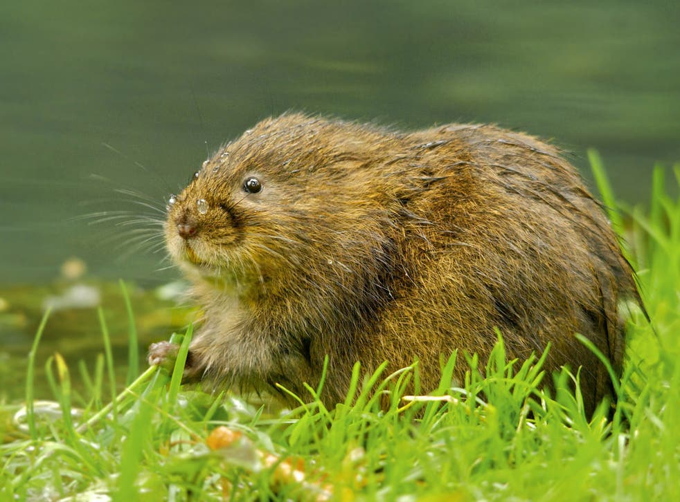 Water vole numbers are down by more than a third in the past three years