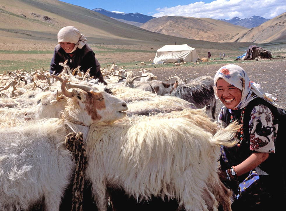 Nomadic women milk Pashmina goats on the Changthang plateau