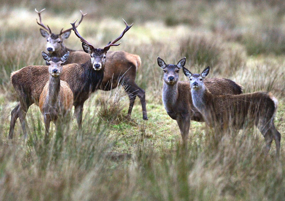 Only mass deer cull can prevent destruction of British