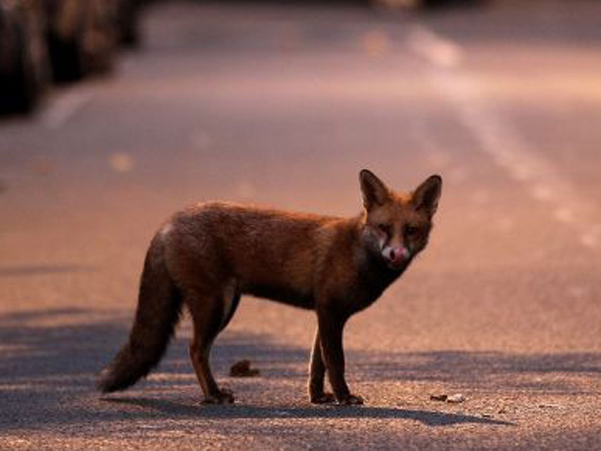 Toddler Attacked By Urban Fox As He Slept In Bed In South