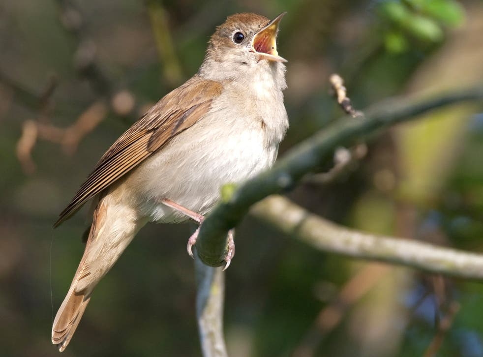 The nightingale is one of Britain's most beloved birds