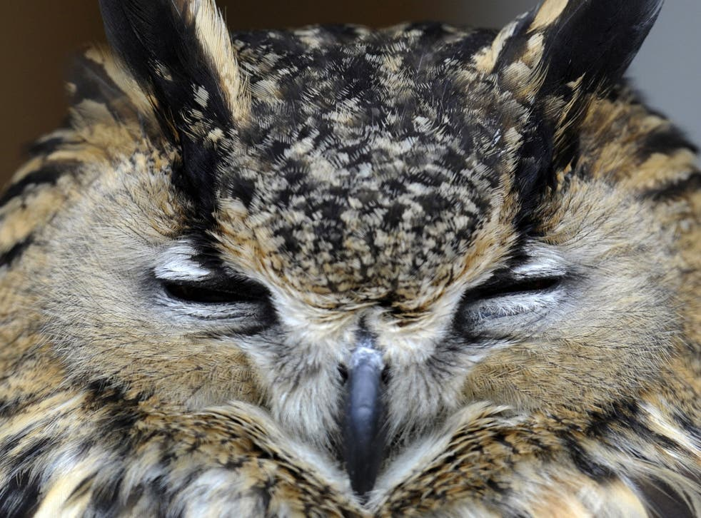 Hearing aid: An owl's ears can detect a mouse under earth or snow