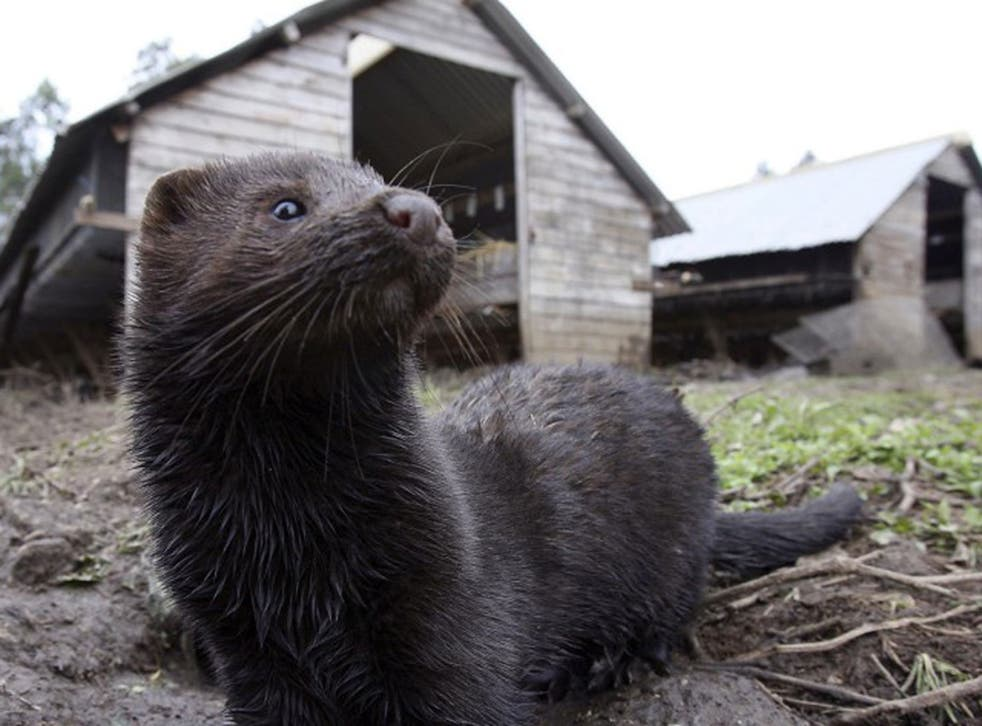 Thousands of mink bred in fur farms in Utah and Wisconsin have now died form Covid-19