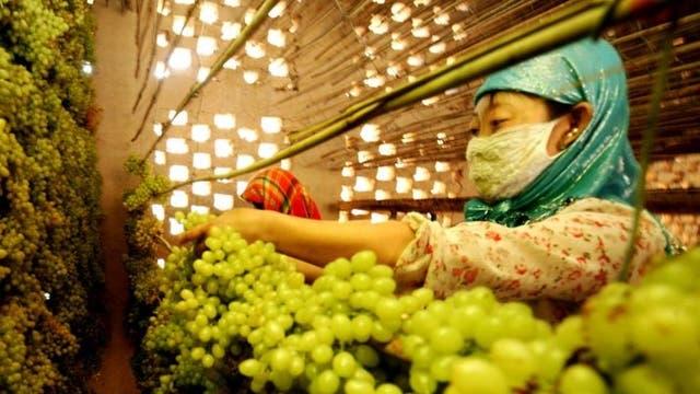 Farmers pick grapes at a vineyard in Hami in northwest China's Xinjiang region