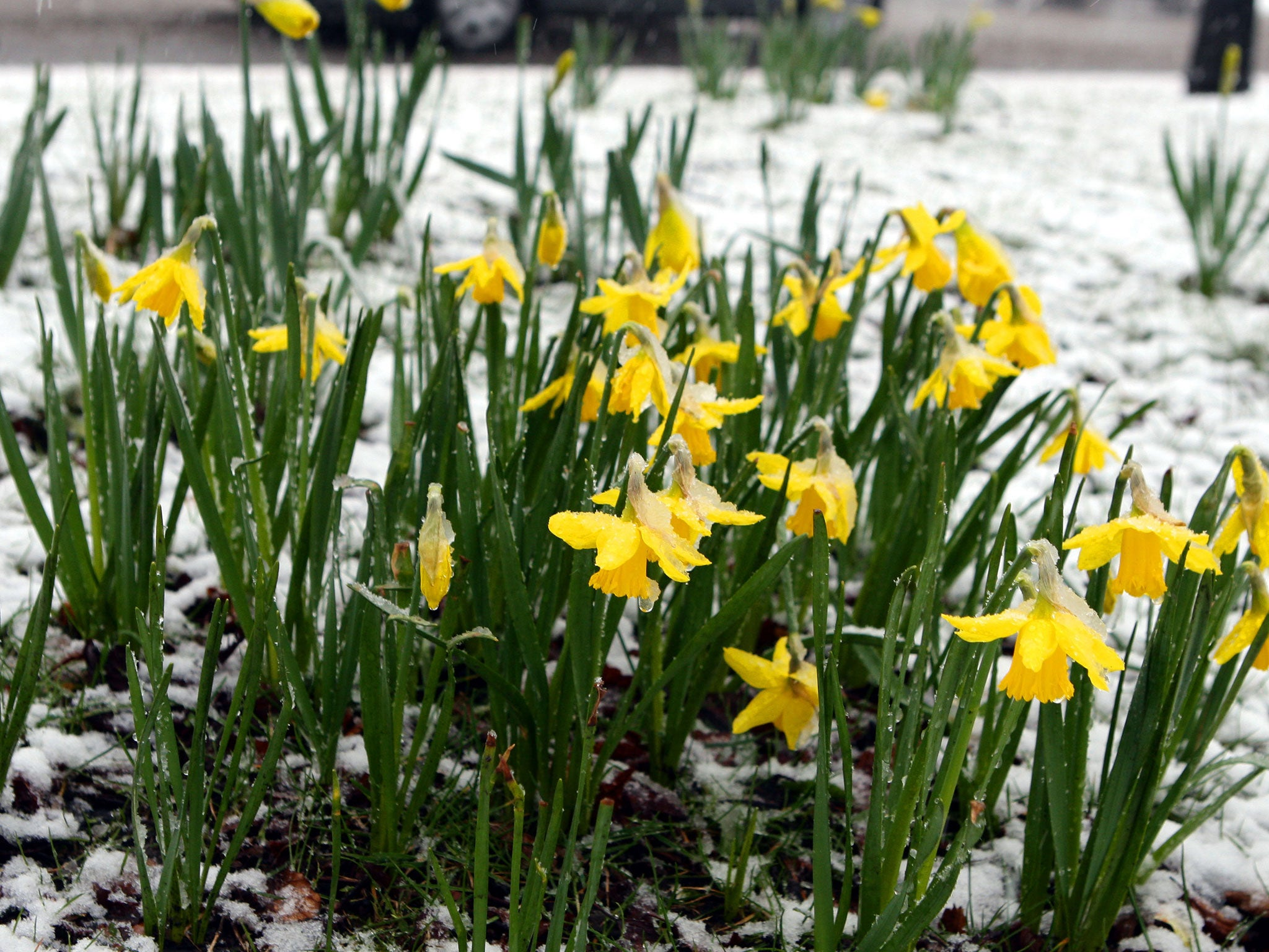 St davids day five things you need to know about waless st davids day five things you need to know about waless national celebration the independent buycottarizona