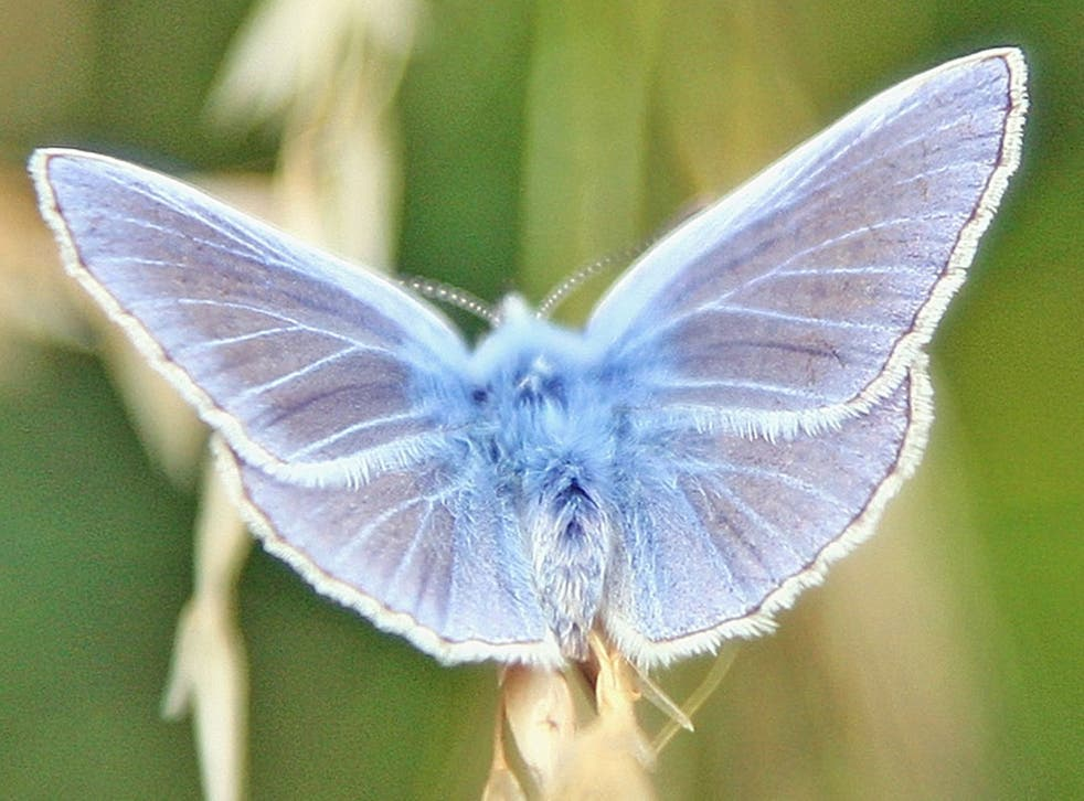 A chalkhill blue butterfly sits next to a wheat field in Dover