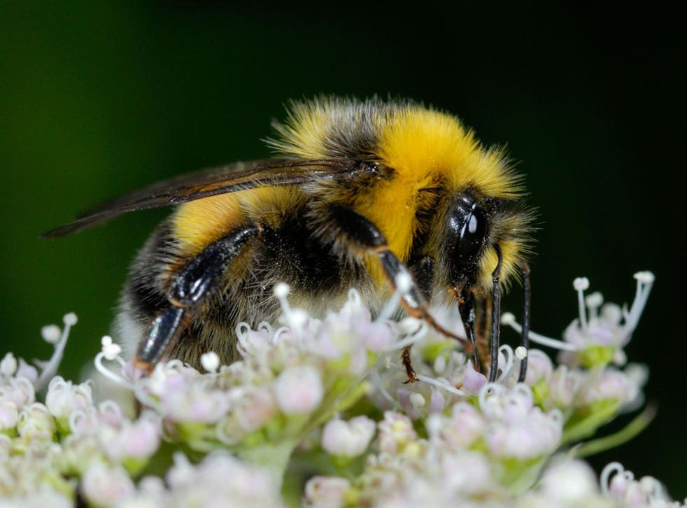 Buff-tailed Bumblebee (Bombus terrestris) on a blossom