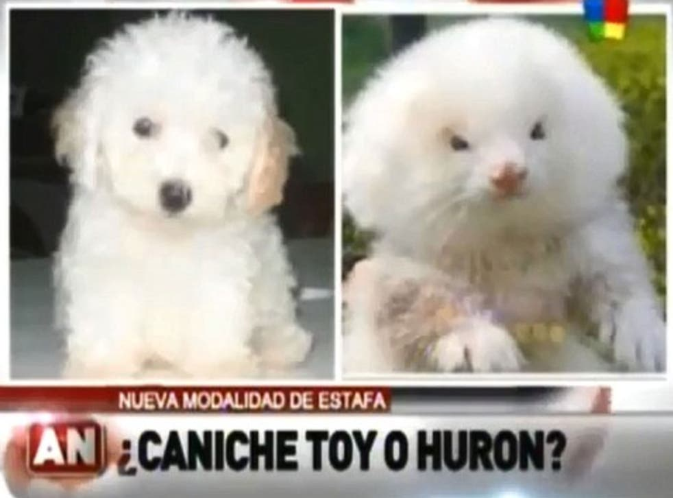 A gullible retired man in Argentina has fallen victim to a scam after discovering the toy poodle pups he bought at a local market were actually fluffed-up ferrets on steroids.