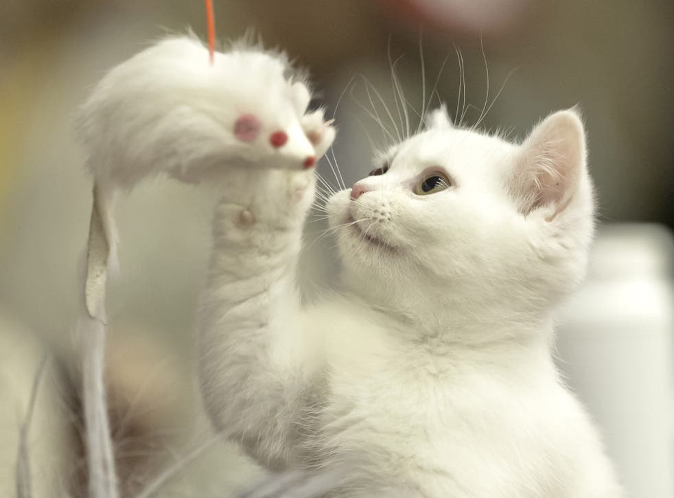 A British Shorthair kitten plays with a toy mouse