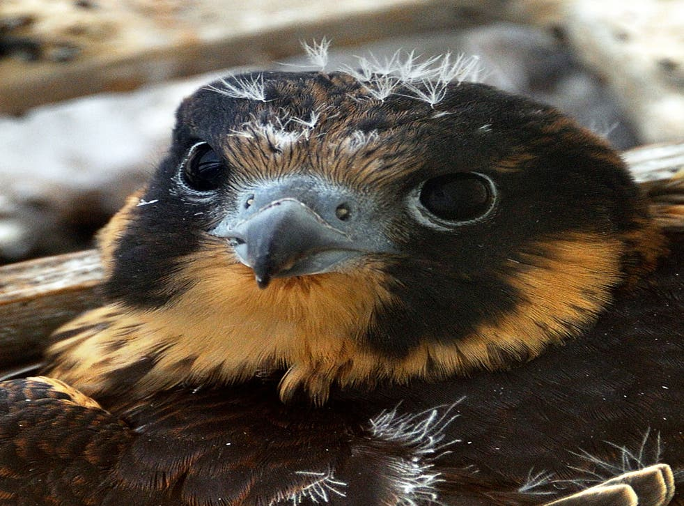 A mobile phone transmitter in Southampton has been switched off after a Peregrine Falcon chose the site for its nest.