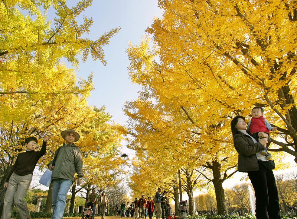 Ginkgos are native to China but have spread worldwide