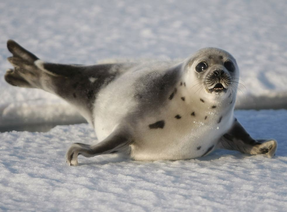 A cruel trade: Jude Law is urging the WTO to uphold the seal fur ban