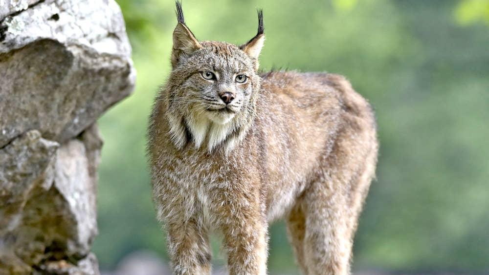 lynx is evidence that big cat did roam britain but it s the stuff