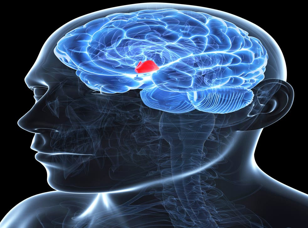 The hypothalamus, highlighted in red, is a small region of the brain involved in regulating the secretion of various hormones