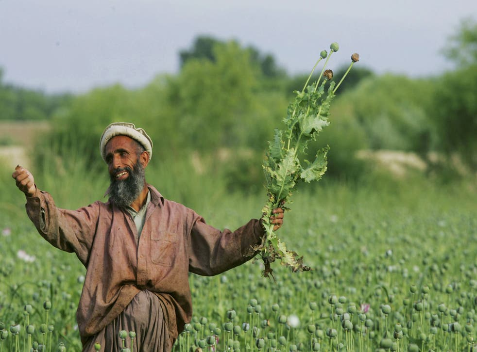 An Afghan farmer holds a poppie plant in a large field of poppie plants May 17, 2005 in Chimtal province, Afghanistan