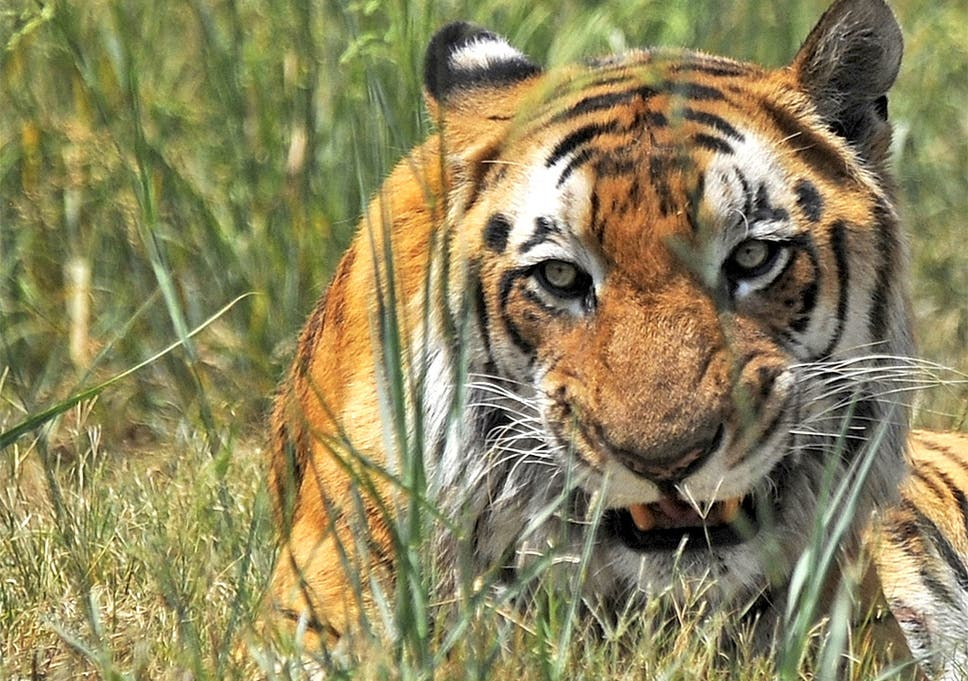 indian tigers face extinction due to inbreeding and lack of genetic