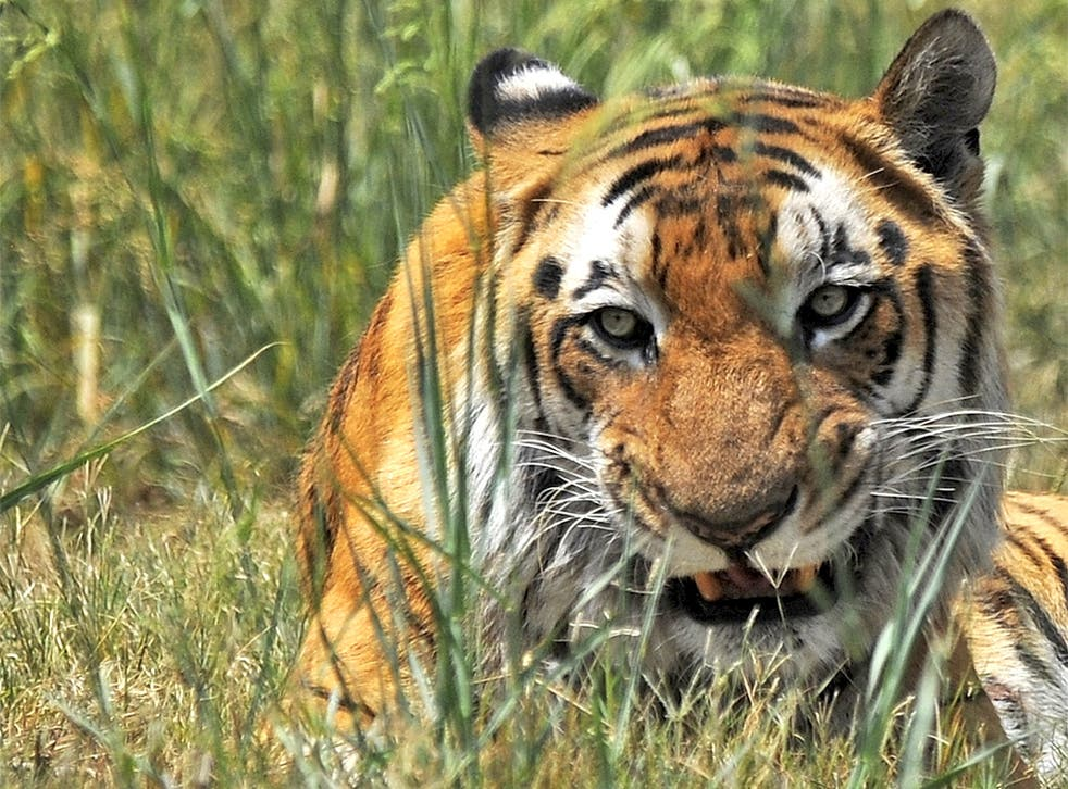 The total population of tigers in India may stand at around 1,700