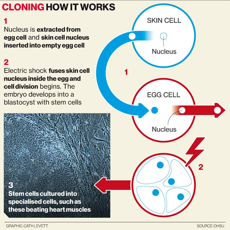 an analysis of human embryo cloning and nuclear cell fusion Nuclear transfer (aka cell fusion) is switching out the nucleusof a cell—and therefore all genetic material why is cloning a single gene of interest more useful than cloning an entire organism -the gene can be put into another organism, be analyzed, manipulated, etc.