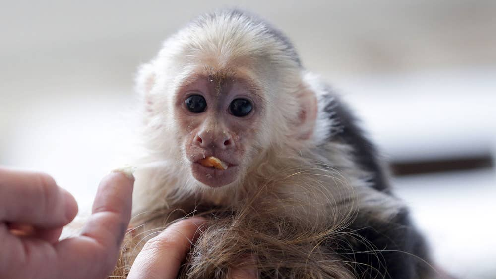 Image result for Capuchin Monkeys As Pets