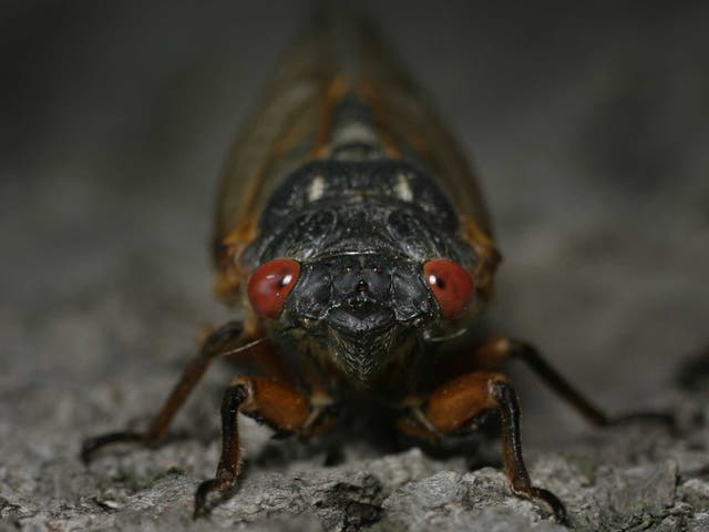 """<p>The <a href=""""https://www.independent.co.uk/topic/us"""">US </a>is experiencing trillions of  Brood X  cicadas surfacing from their 17 years underground</p>"""