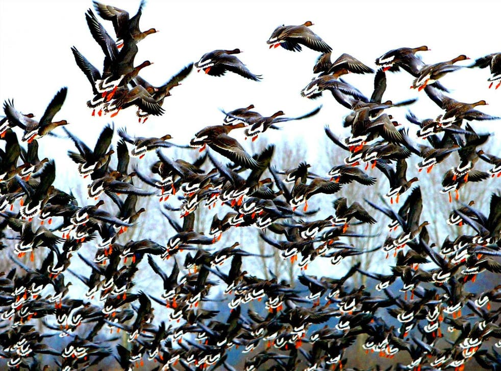 A pack of wild geese