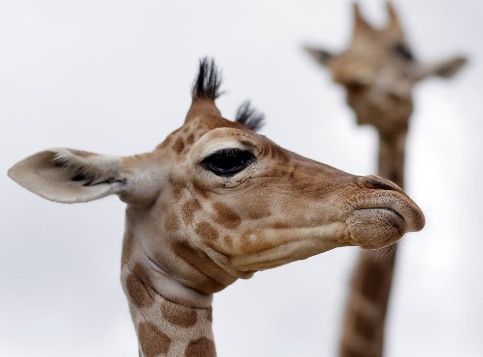 The giraffe, despite its towering size, has the same number of bones in the neck as a human: seven. Valves in the neck prevent blood rushing to the head when they bend down to drink. They live in Africa's grasslands and woodlands.