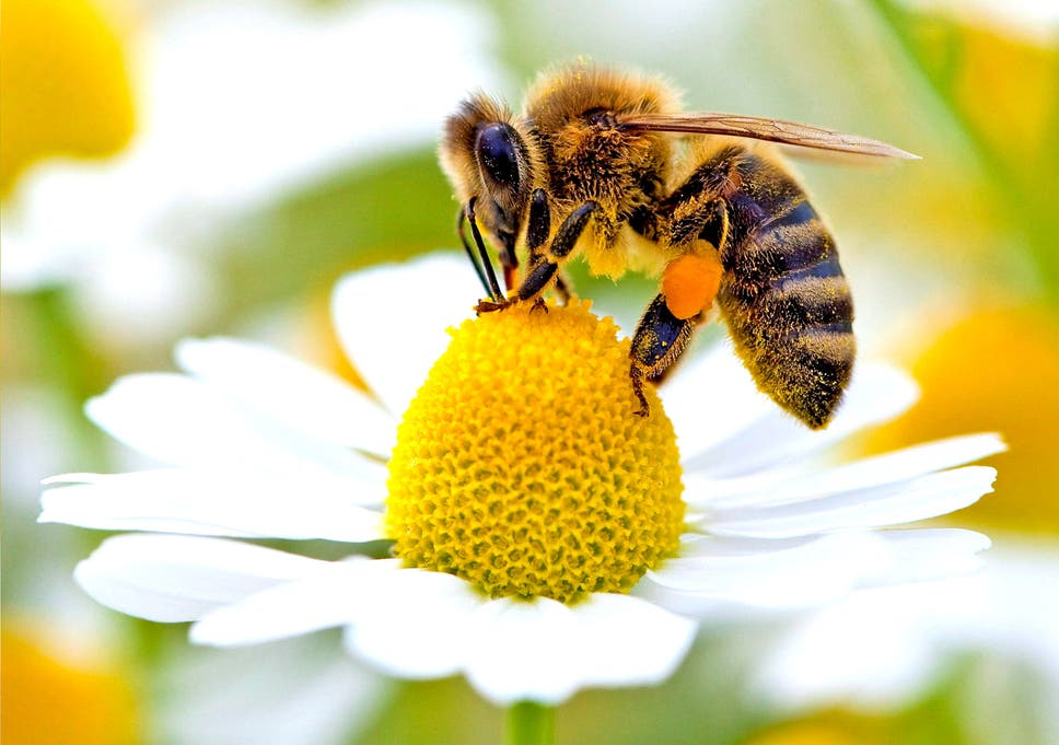 wild bees just as important as honeybees for pollinating food