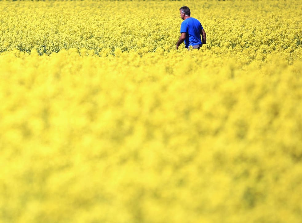 A lovely summer scene unless you suffer from hayfever: rapeseed blooms in a field near the village of Brewood in South Staffordshire