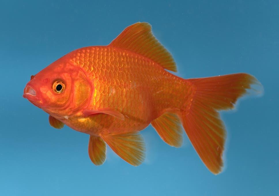 man splashes out 300 on vet bill for beloved office goldfish