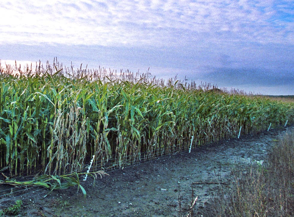Genetically modified maize in Shropshire
