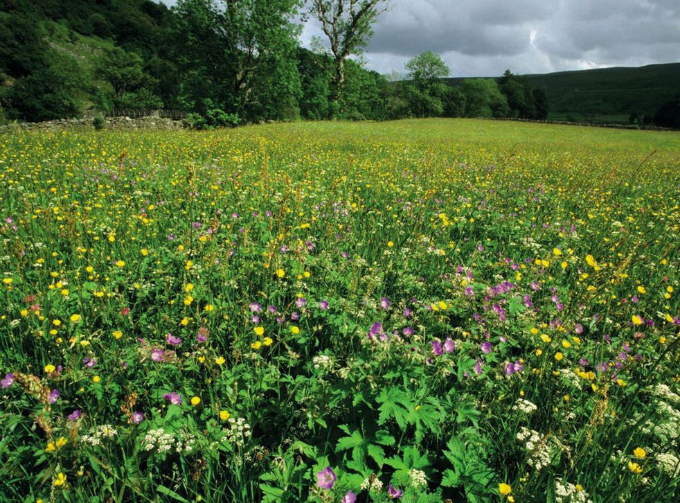 Flower meadow near Muker, York Dales. Press Image supplied by :Andrew Branson [andrew@britishwildlife.com]