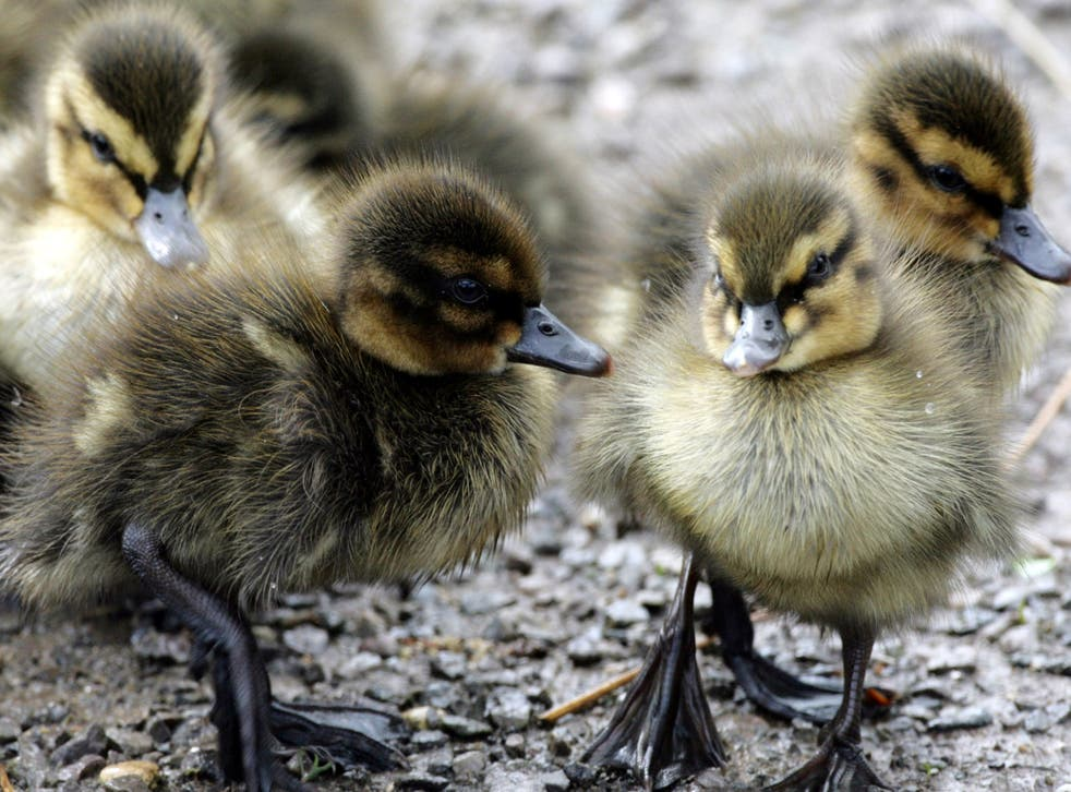 Three ducklings are alleged to have died in the incident