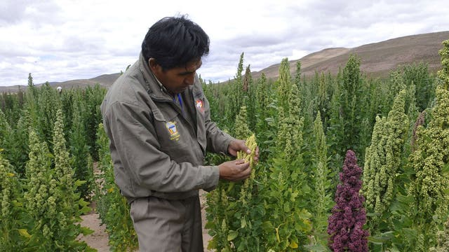 A quinoa field south of La Paz, where it is called chisaya mama – the mother of all grains