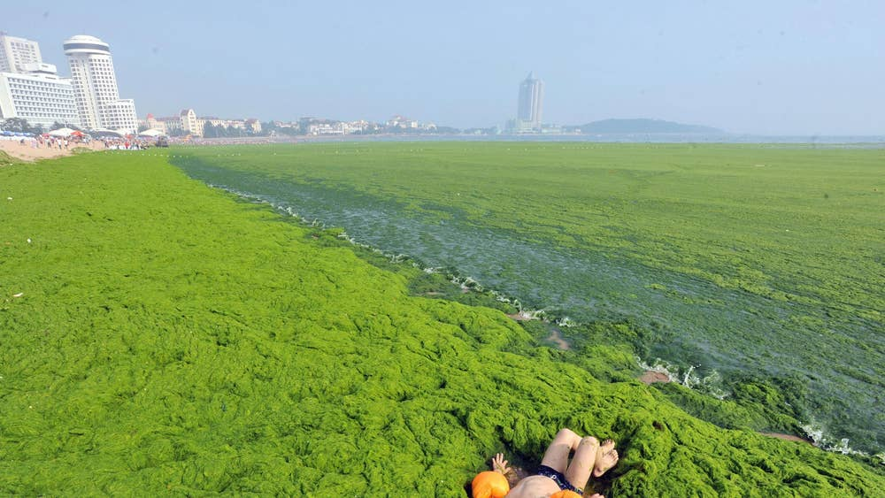 Fancy a dip? Chinese beachgoers swim in green algae that