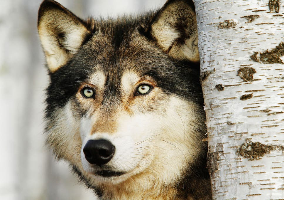 Could The Wolf Return To Western Europe The Independent