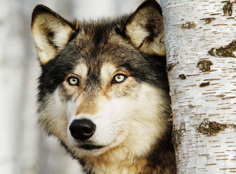 Wolves have returned to western Europe
