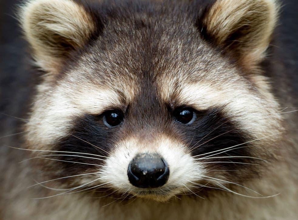 Una banda de traviesos mapaches provocó el caos cuando 'atacaron' a miembros de los medios de comunicación en la Casa Blanca.