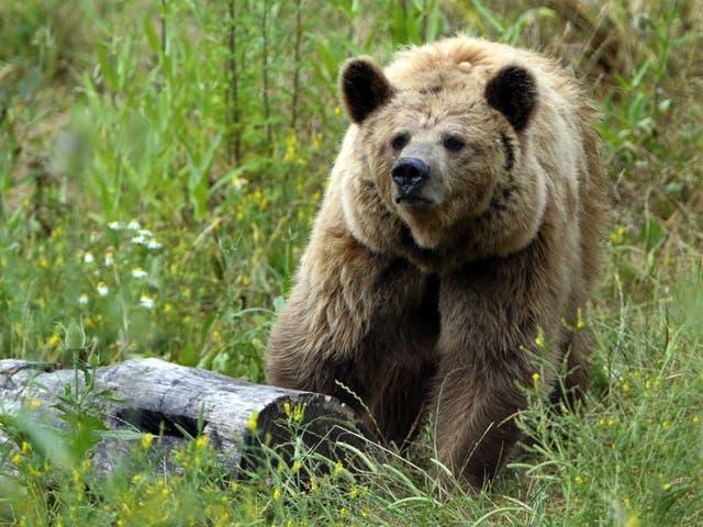 Un oso pardo en Francia. Osos similares a este se utilizan en concursos de cebo de osos en Ucrania